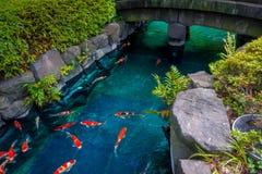 在pong的美好的koi鱼游泳在一条小河,绿色灌木包围的池塘在日本庭院浅草Kannon里 免版税库存图片