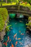 在pong的美好的koi鱼游泳在一条小河,绿色灌木包围的池塘在日本庭院浅草Kannon里 库存照片