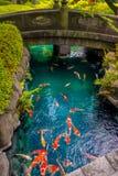 在pong的美好的koi鱼游泳在一条小河,绿色灌木包围的池塘在日本庭院浅草Kannon里 库存图片