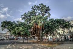 在ponta delgada,亚速尔群岛的大古老树 免版税库存图片