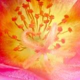 在portulaca花里面的宏指令 图库摄影
