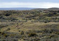 在Porvenir附近村庄的骆马之类在火地群岛 免版税图库摄影