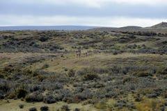 在Porvenir附近村庄的骆马之类在火地群岛 免版税库存图片