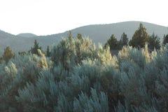 在powell sagebrush附近的小山杜松 免版税图库摄影