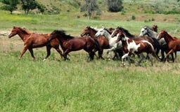 在Prarie的野马 免版税库存照片