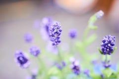 在Provance的宏观淡紫色 图库摄影