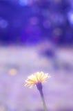 在pruple光的雏菊 库存照片