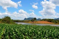 在Puerto埃斯波兰萨,古巴附近的烟草田 库存照片