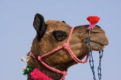 在Pushkar的骆驼公平在拉贾斯坦,印度 免版税库存照片