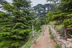 在Qadisha谷的雪松森林里落后在黎巴嫩 免版税库存图片