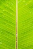 在rainny以后的湿香蕉叶子 库存照片