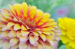 在Rama 9 (本地名字) natio的桃红色和黄色杂种翠菊花 库存图片