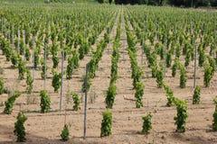 在Ramatuelle附近的葡萄园,普罗旺斯 免版税图库摄影
