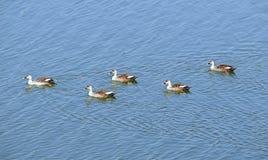 在Randarda湖,拉杰科特,印度的斑点开帐单的鸭子 免版税库存照片