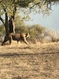 在Ranthambore的老虎 免版税图库摄影