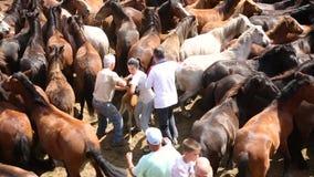 在Rapa das Bestas期间,野马在拥挤竞技场环绕了  股票视频