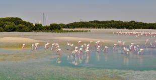 在Ras Al Khor圣所的火鸟在迪拜附近 免版税库存照片
