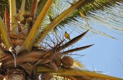 在Renion海岛棕榈的Belier tisserin  库存图片