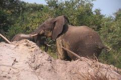 在Reserva de马普托的大象 免版税库存照片