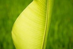在ricefield的棕榈事假 免版税库存图片