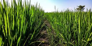 在ricefield的符号 免版税库存图片