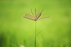 在ricefield的草 免版税库存照片