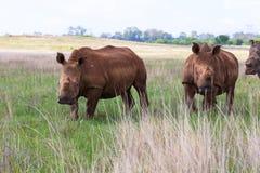 在Rietvlei NR的白色犀牛 免版税库存图片