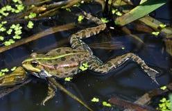 在river_10的青蛙 免版税图库摄影
