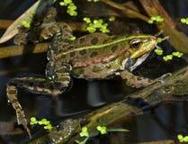 在river_12的青蛙 免版税图库摄影