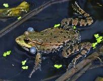 在river_14的青蛙 免版税库存图片