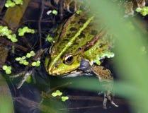 在river_15的青蛙 免版税图库摄影