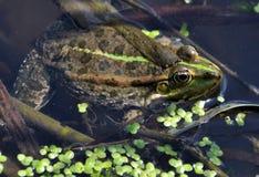 在river_17的青蛙 免版税库存照片