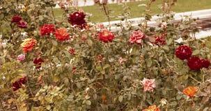 在rosegarden的开花的玫瑰在一个晴天 套英尺长度 影视素材