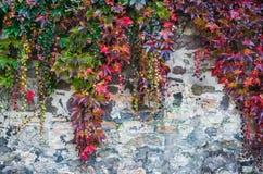 在rought老砖墙的五颜六色的秋天爬行物植物 免版税库存图片