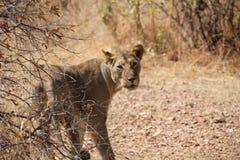 在ruaha国家公园坦桑尼亚的女性lionduring的天时间 免版税库存照片