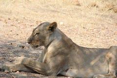 在ruaha国家公园坦桑尼亚的女性lionduring的天时间 库存图片