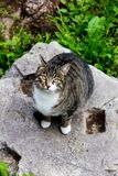 在ruines的灰色猫在罗马古老猫 免版税库存图片