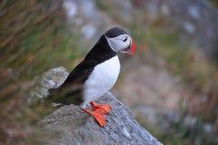 在Runde的海鹦 挪威 库存图片