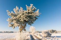 在rutted路旁边选拔一棵结霜的杉木 免版税库存图片
