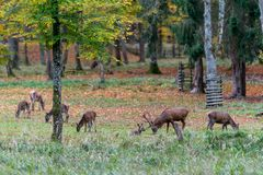 在rutting季节期间的鹿在forrest 图库摄影
