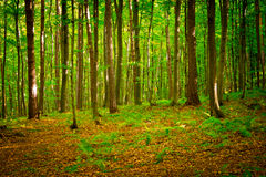 在Rzeszow,波兰附近的山毛榉森林 免版税库存图片