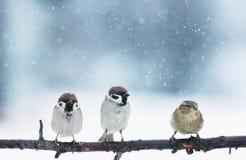 在s期间,三只滑稽的鸟在花梢圣诞节公园坐 库存照片