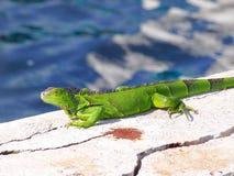 在s绿色鬣鳞蜥的绿色鬣鳞蜥在太阳 免版税库存图片