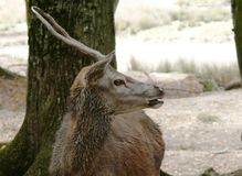 在Sainte克鲁瓦野生动物园的幼小牡鹿在摩泽尔 免版税库存图片