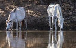 在Salt河, Tonto国家森林的野马 免版税图库摄影
