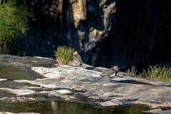 在Salto Ventoso的南部的田凫鸟停放- Farroupilha,南里奥格兰德州,巴西 库存照片