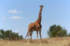 在samburu的马塞人girafe 免版税库存照片