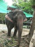 在samui海岛的大象 免版税库存图片
