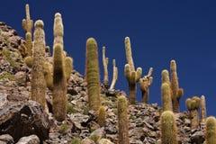 在San Pedro de Atacama -智利附近的仙人掌峡谷 免版税库存图片