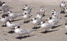 在Sanibel海岛上的三明治燕鸥 免版税库存照片